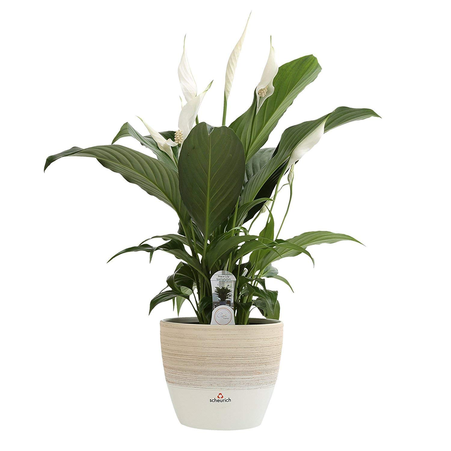best houseplants for beginners peace lily