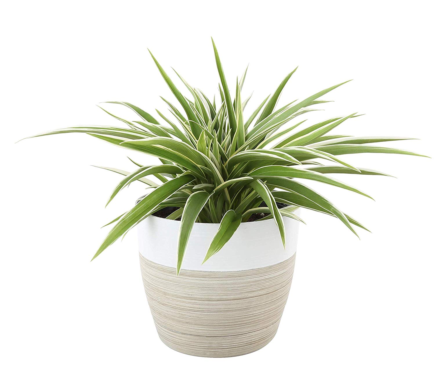 best houseplants for beginners spider plant