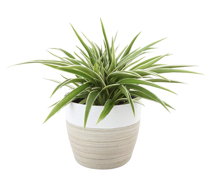 best houseplants for beginners spider plant