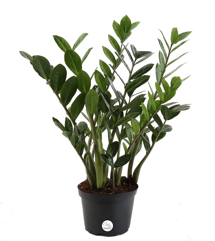 best houseplants for beginners zz plant